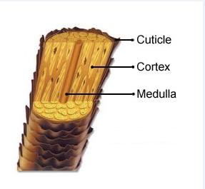 ساختار مو