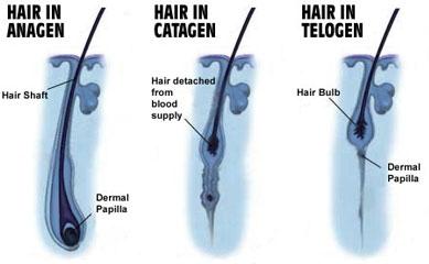 ساختار مو -آناژن-کاتاژن-تلوژن
