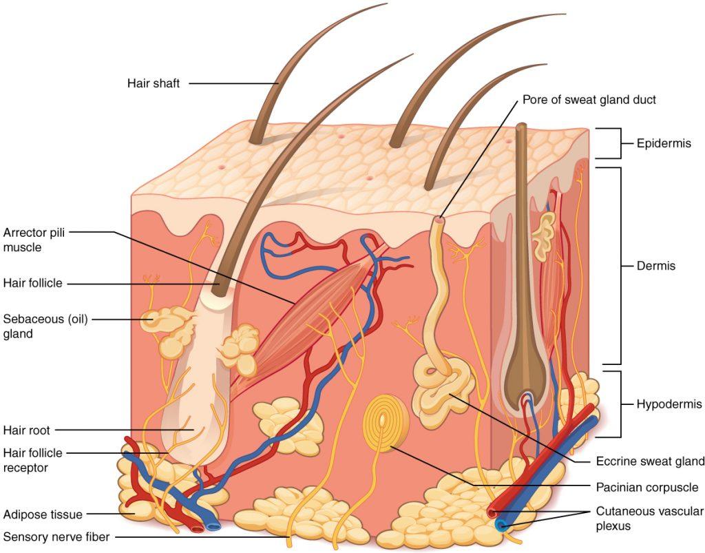 ساختار پوست